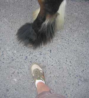 A comparison of the size of my foot to a large horse's hoof