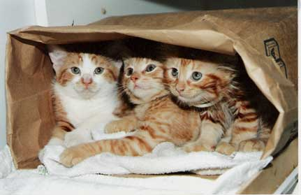 a photograph of 3 kittens in a bag